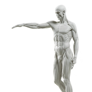 Eaton-Houdon L'Écorché anatomy model